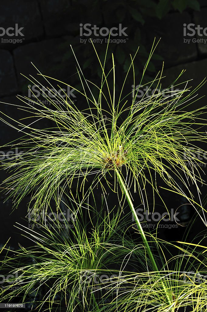 Cyperus papyrus - detail royalty-free stock photo