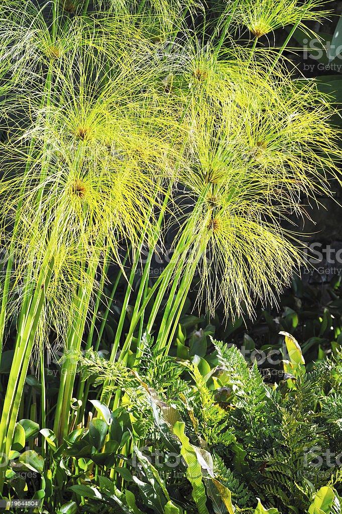 Cyperus papyrus - detail royalty-free stock photo