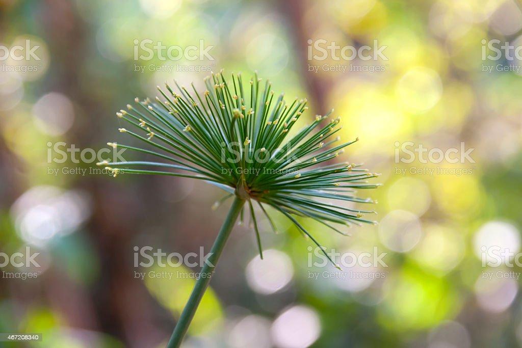 Cyperus  papyrus royalty-free stock photo