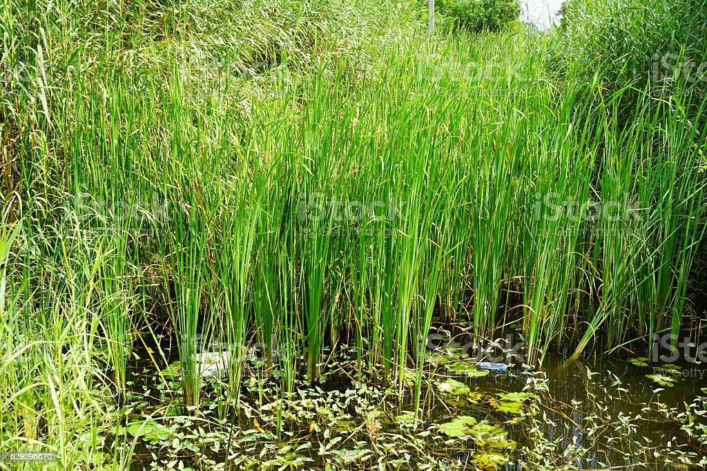 Cyperus papyrus stock photo