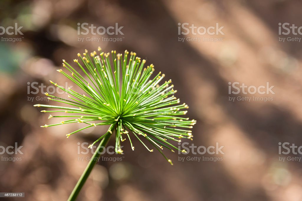 Cyperus  papyrus with blur background royalty-free stock photo