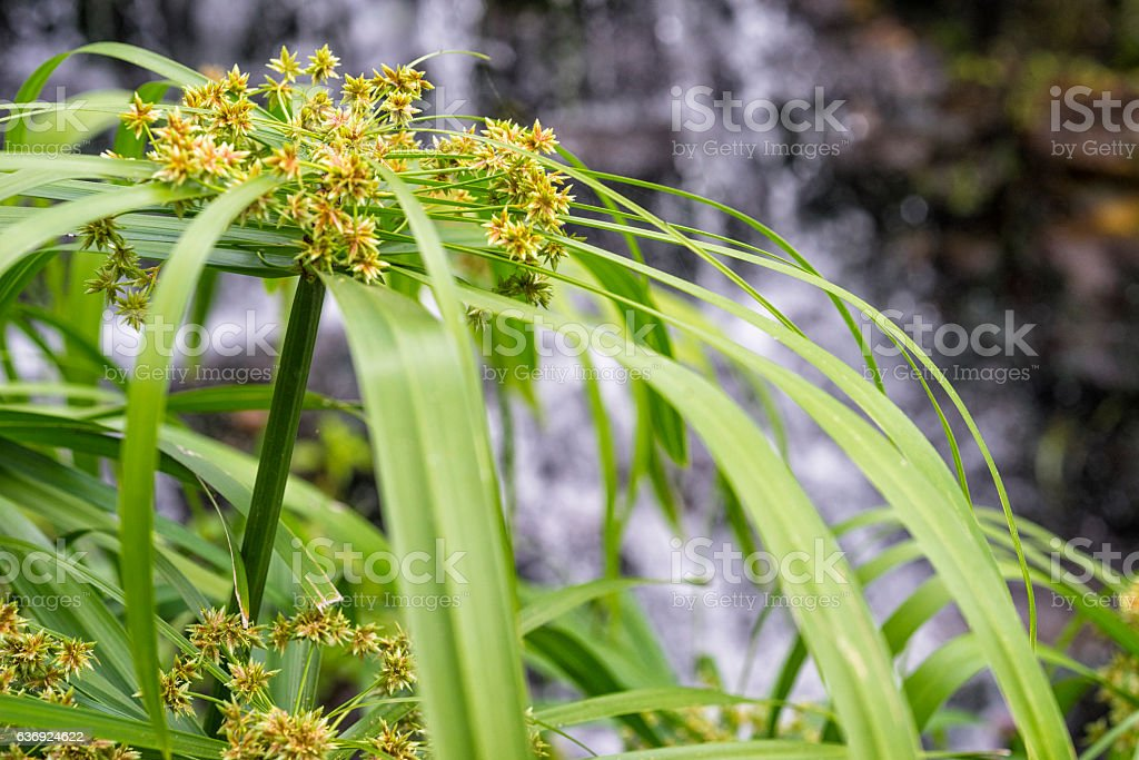 Cyperus Umbrella Plants stock photo