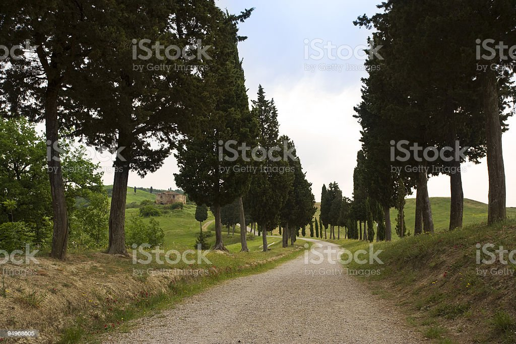 cypress alley in tuscany stock photo