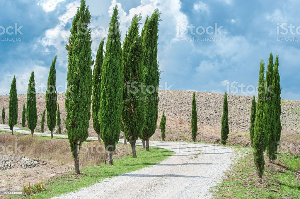 Cypress alley stock photo