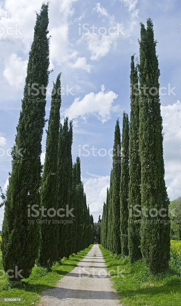 Cypress alley royalty-free stock photo