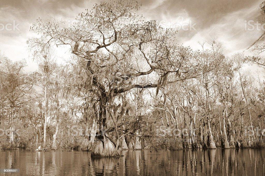 Cypress and Tupelo swamp royalty-free stock photo