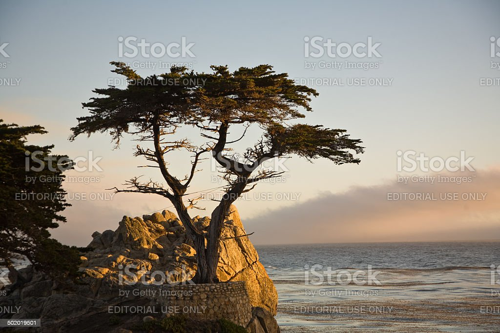 Cypress at the coastline in sunset stock photo