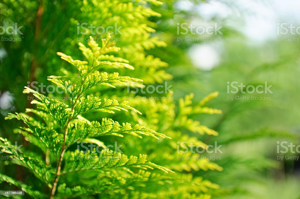 Cypress close up stock photo
