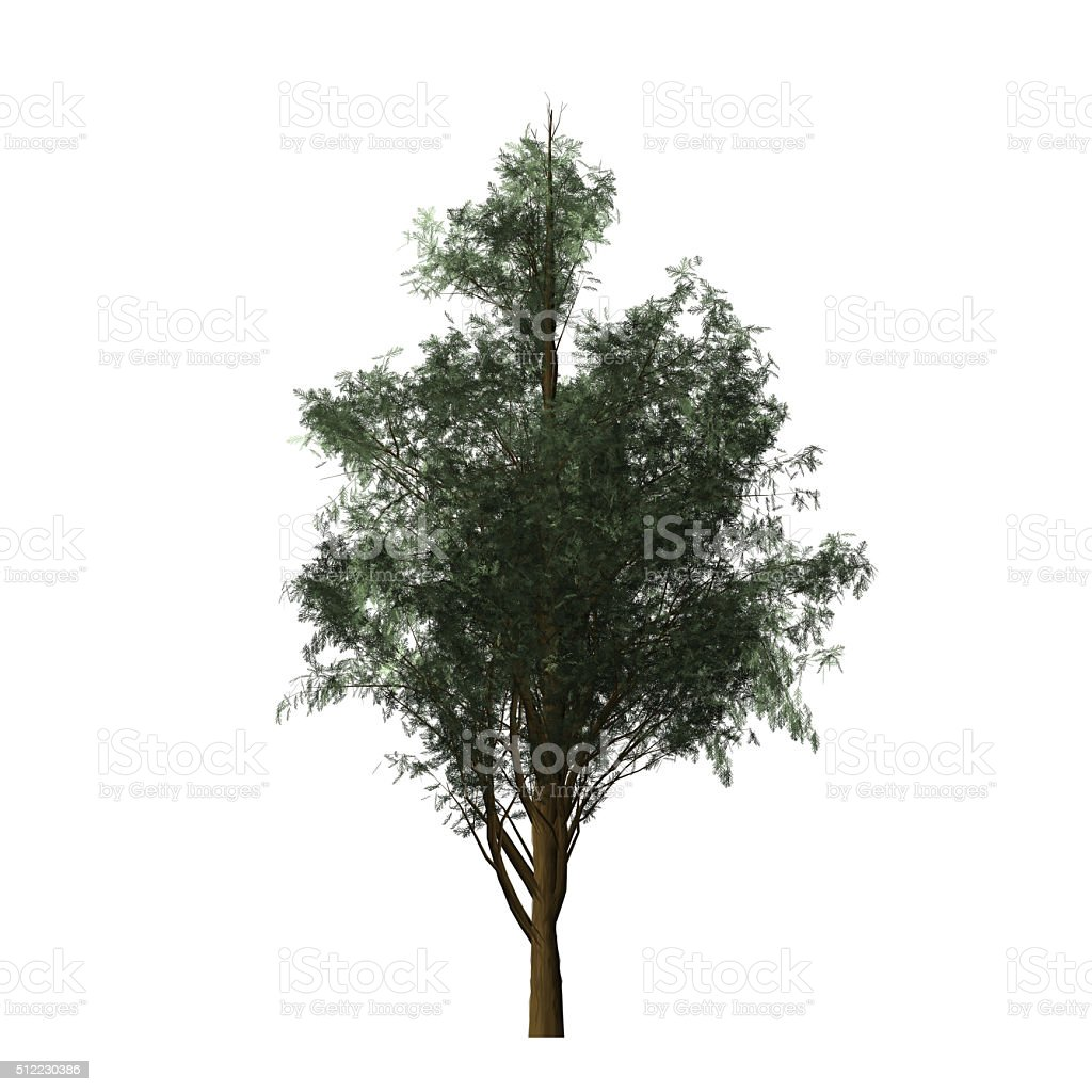 Cypress - digital painting stock photo