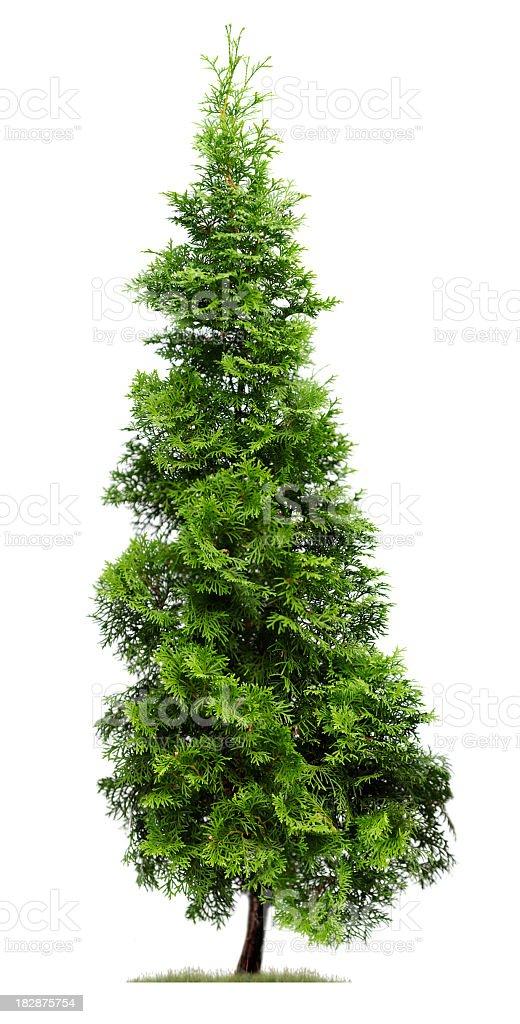 Cypress: Eastern Arborvitae (Thuja occidentalis 'Fastigiata') isolated on white. royalty-free stock photo