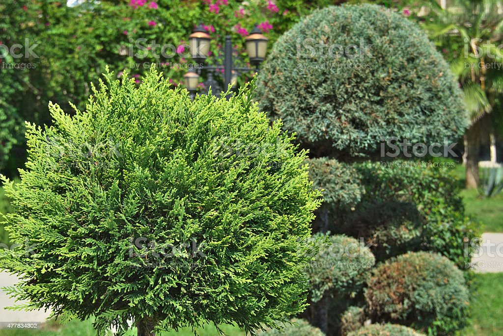 cypress. element of landscape design stock photo