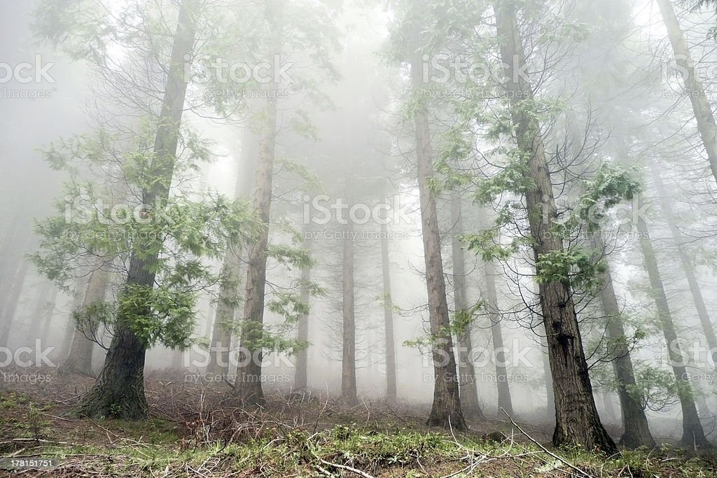cypress forest in fog royalty-free stock photo