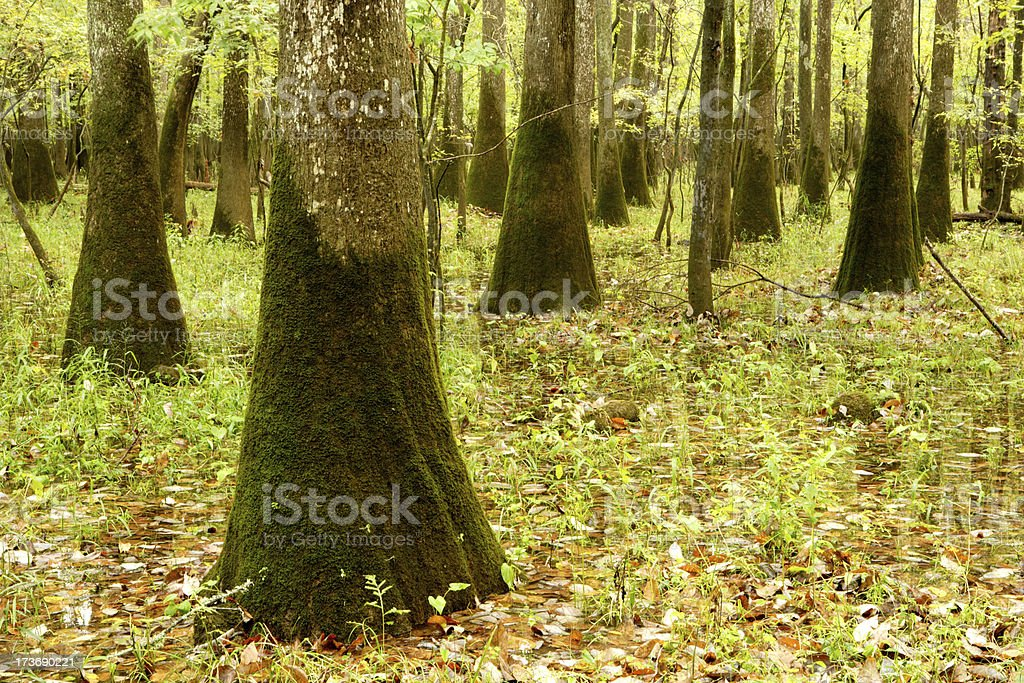 Cypress Forest royalty-free stock photo