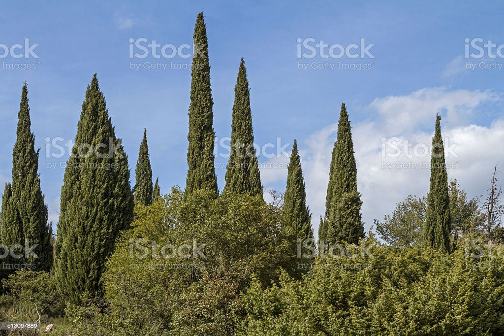 cypress forest stock photo