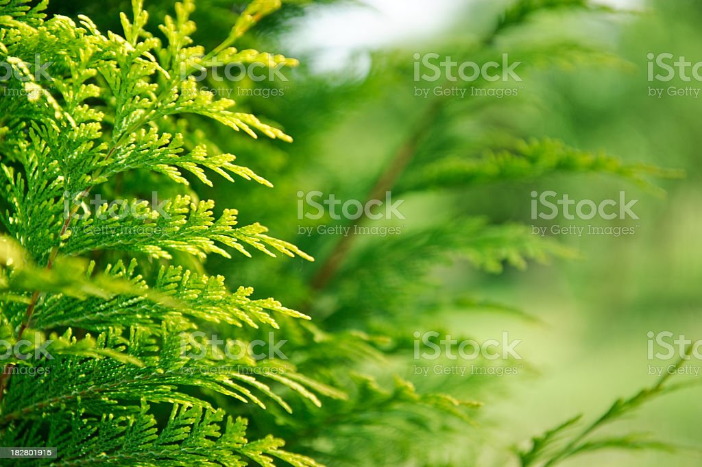 Cypress frame royalty-free stock photo