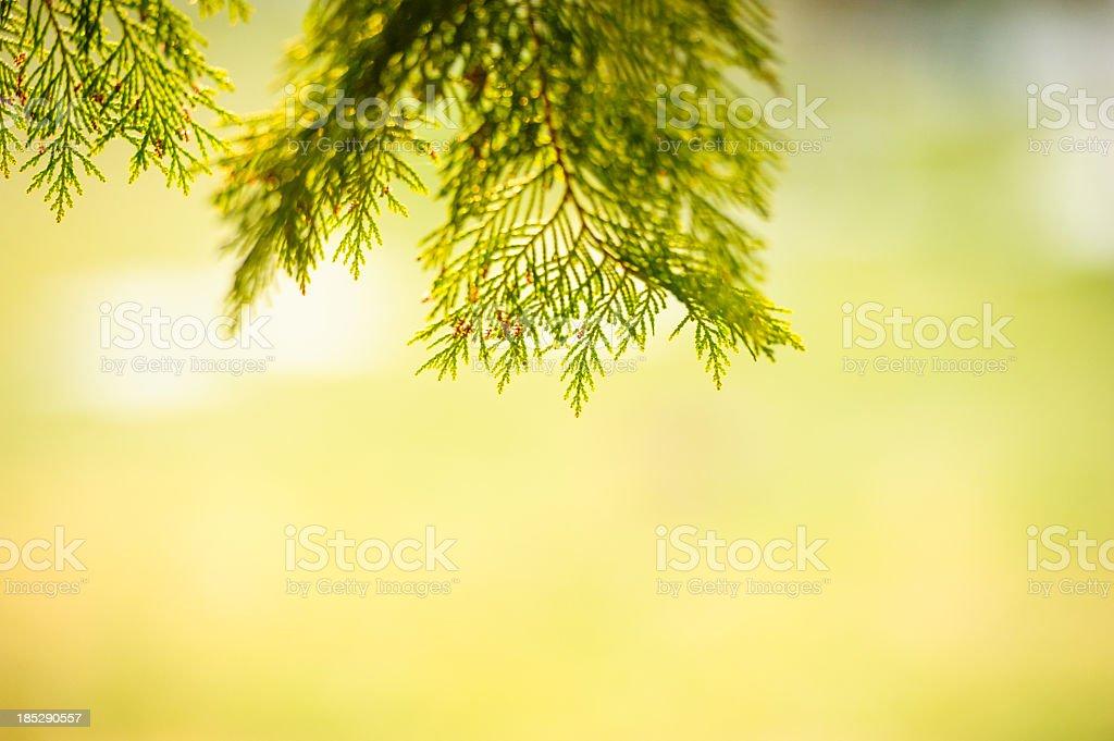 Cypress frame royalty-free stock photo