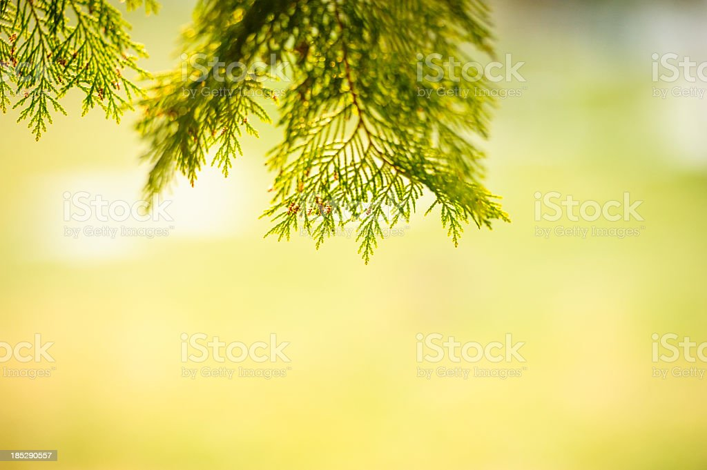 Cypress frame stock photo