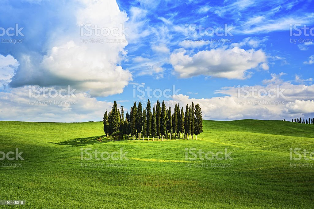Cypress group and field rural landscape in Orcia, San Quirico, stock photo