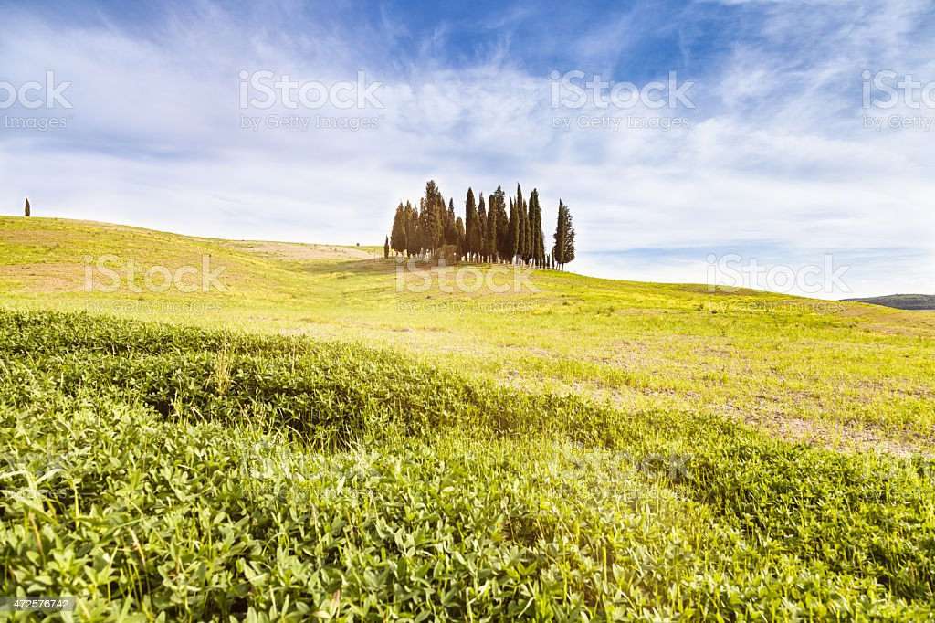 Cypress grove in a green field, Spring in Val d'Orcia stock photo