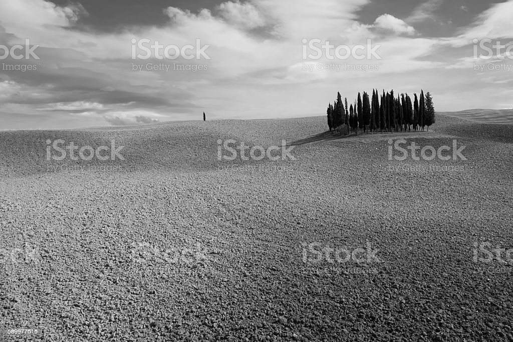Cypress grove in Val 'd'Orcia stock photo