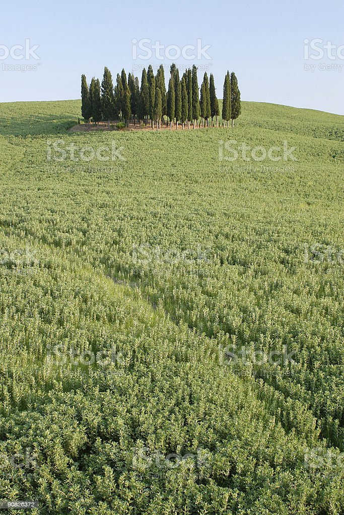 Cypress Grove royalty-free stock photo