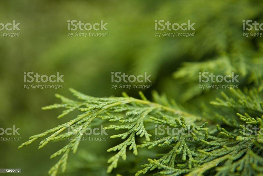 Cypress hill royalty-free stock photo