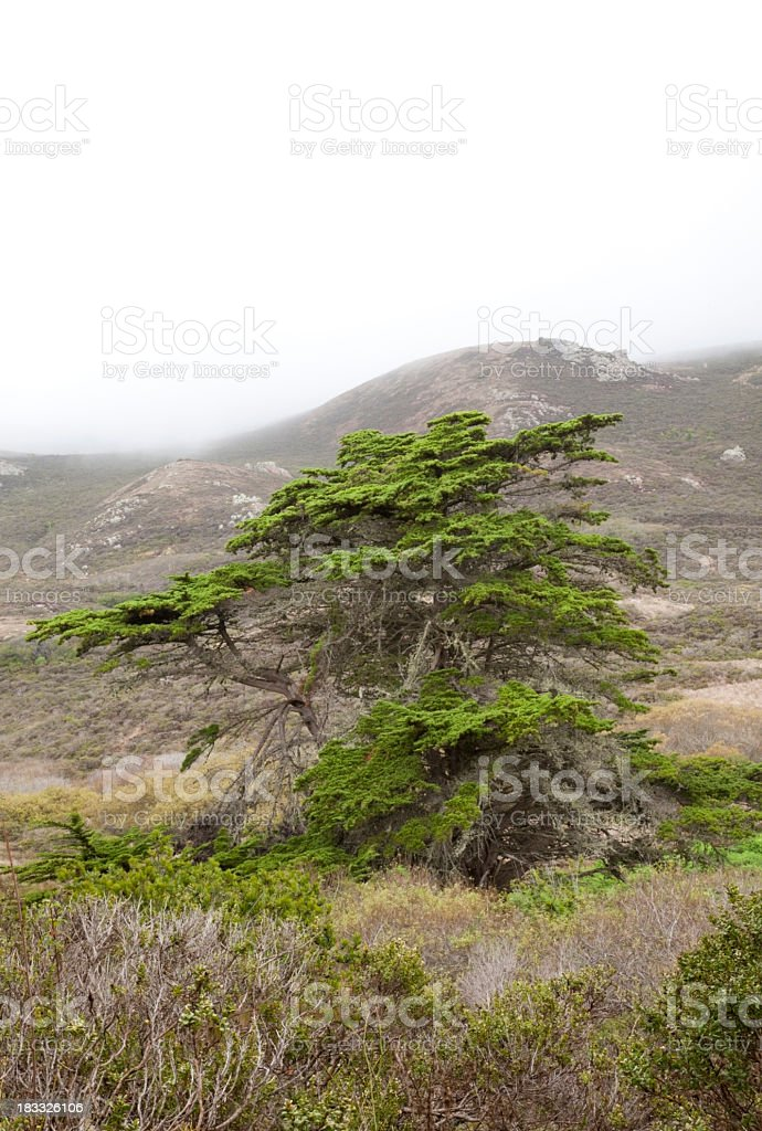 Cypress in Fog stock photo