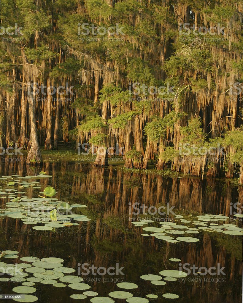 Cypress in the Lake royalty-free stock photo
