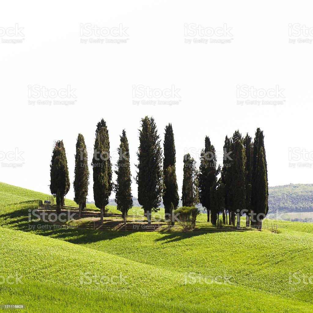 Cypress in tuscany landmark isolated on white stock photo