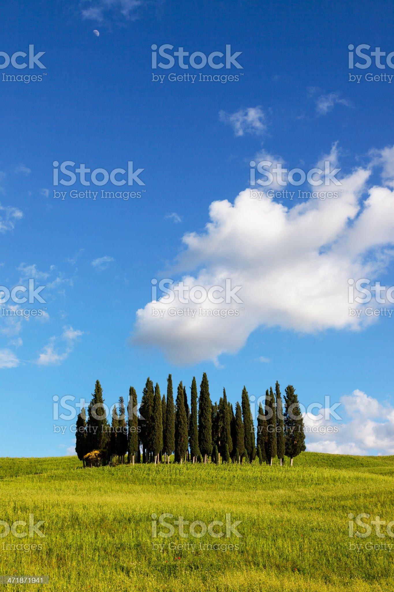 Cypress in tuscany royalty-free stock photo