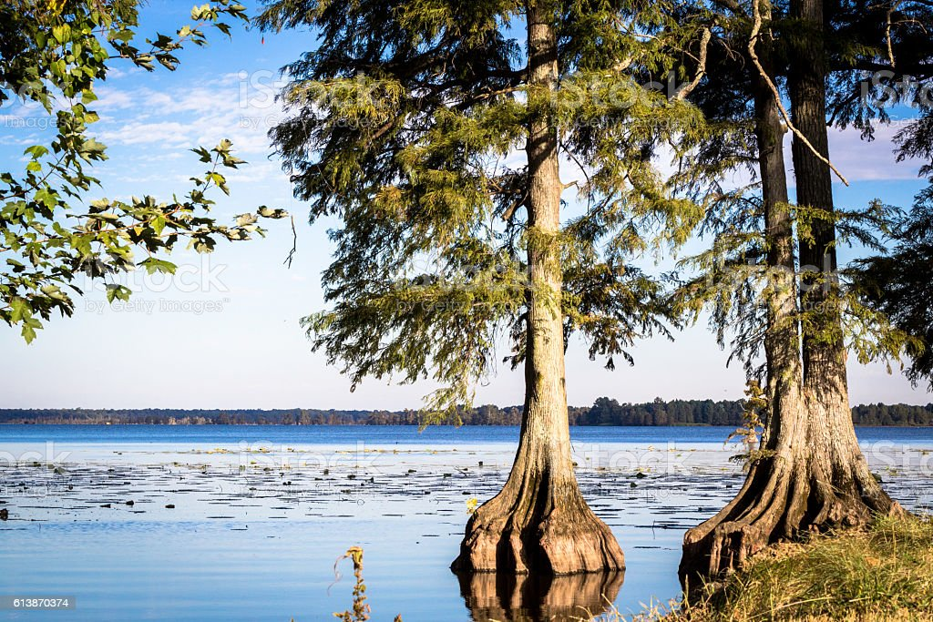 Cypress Looking over Reelfoot Lake stock photo