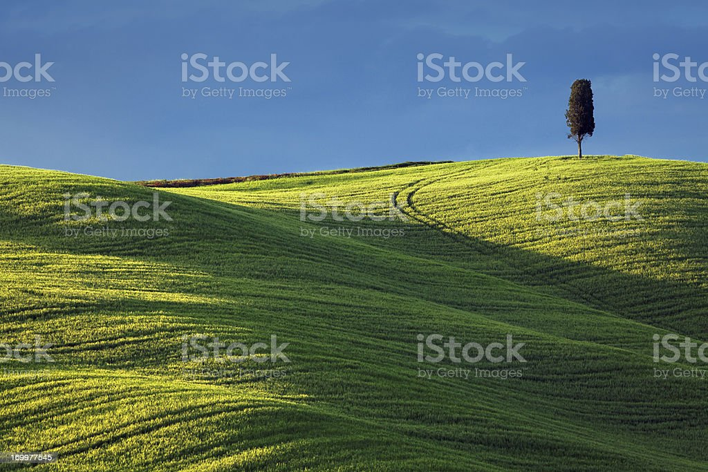 cypress on a hilltop, Italy, Tuscany royalty-free stock photo