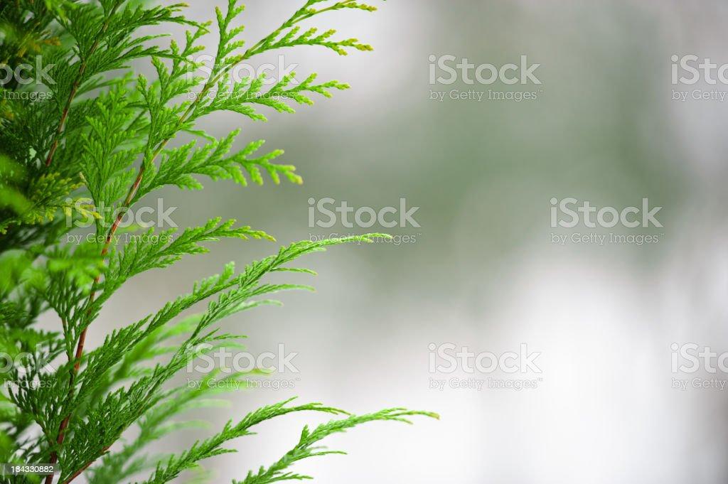 Cypress royalty-free stock photo