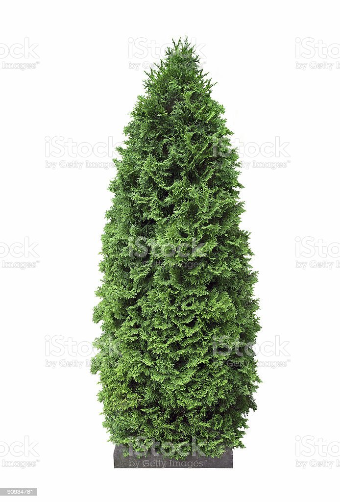 Cypress royalty-free stock photo