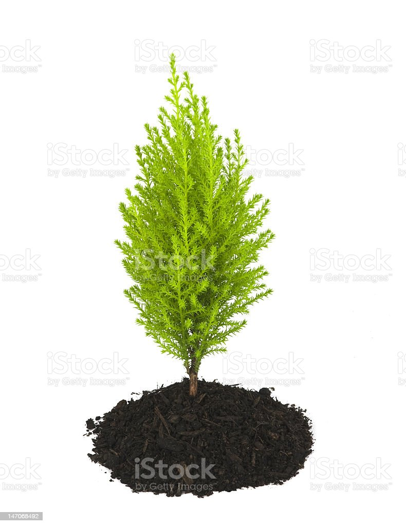 Cypress Pine Tree Sapling Growing out of Soil Clump, Isolated royalty-free stock photo