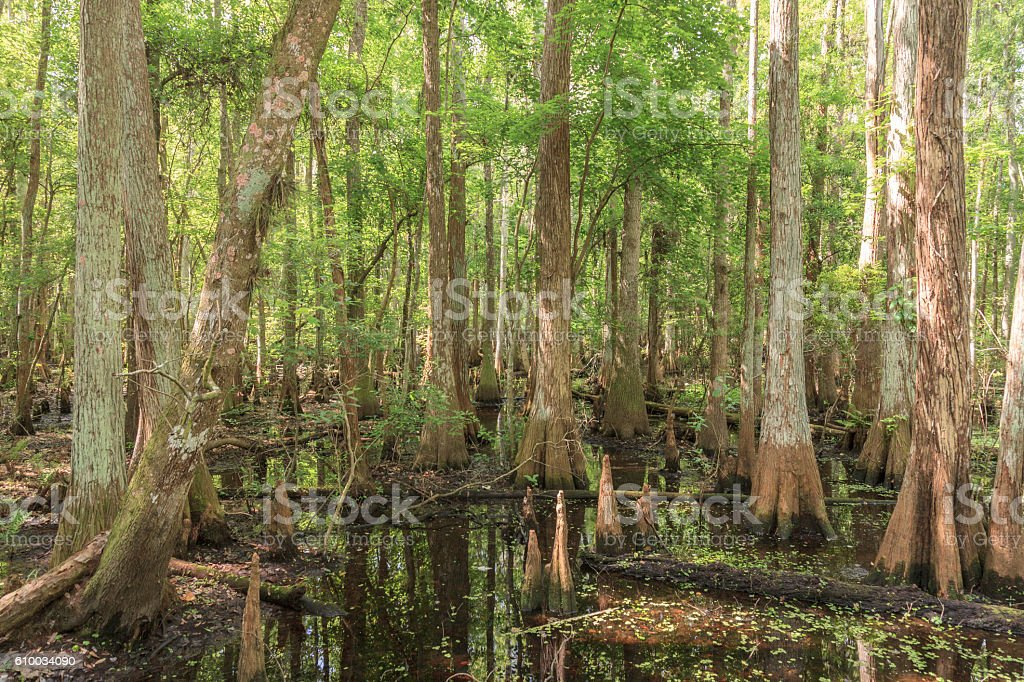 Cypress Swamp in Florida stock photo