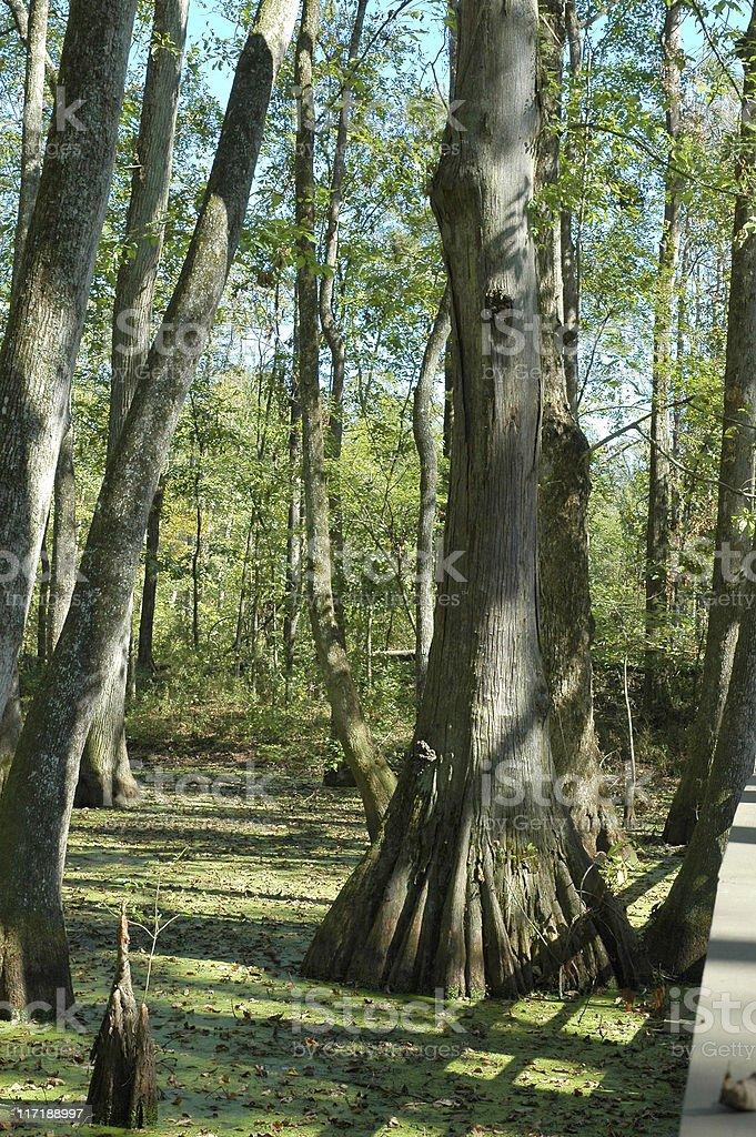 Cypress Swamp stock photo