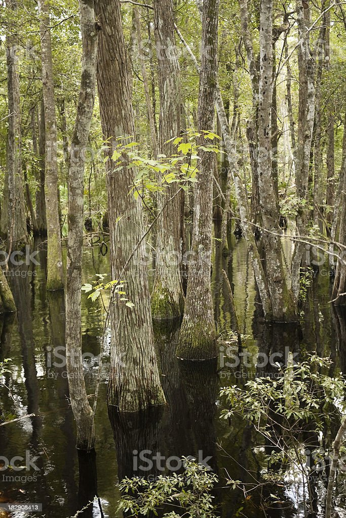 Cypress Swamp stock photo