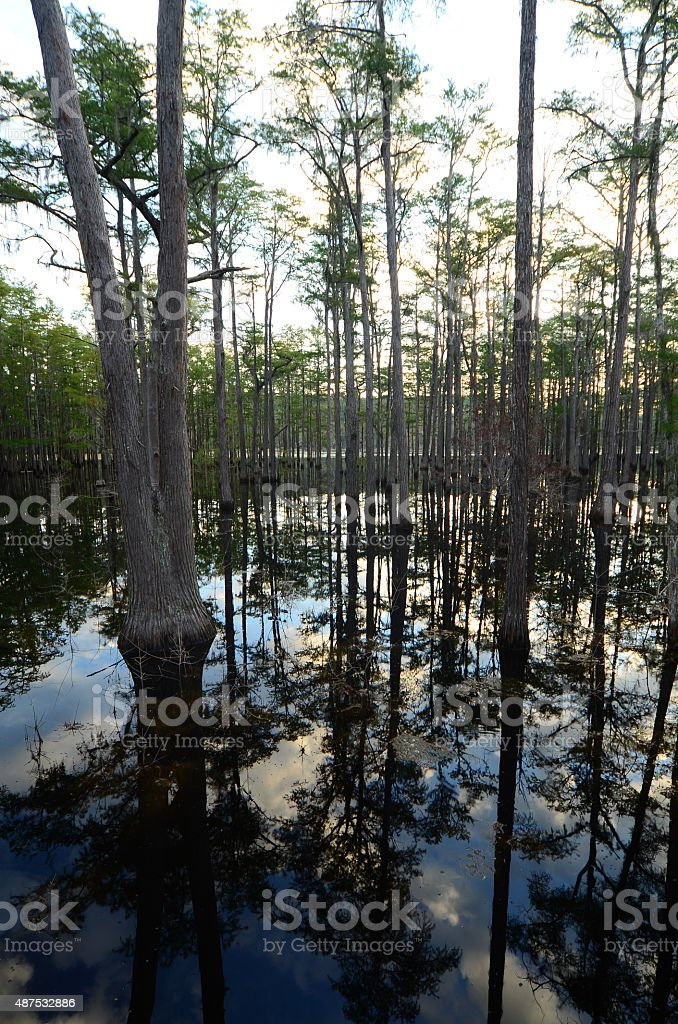 Cypress swamp reflections stock photo