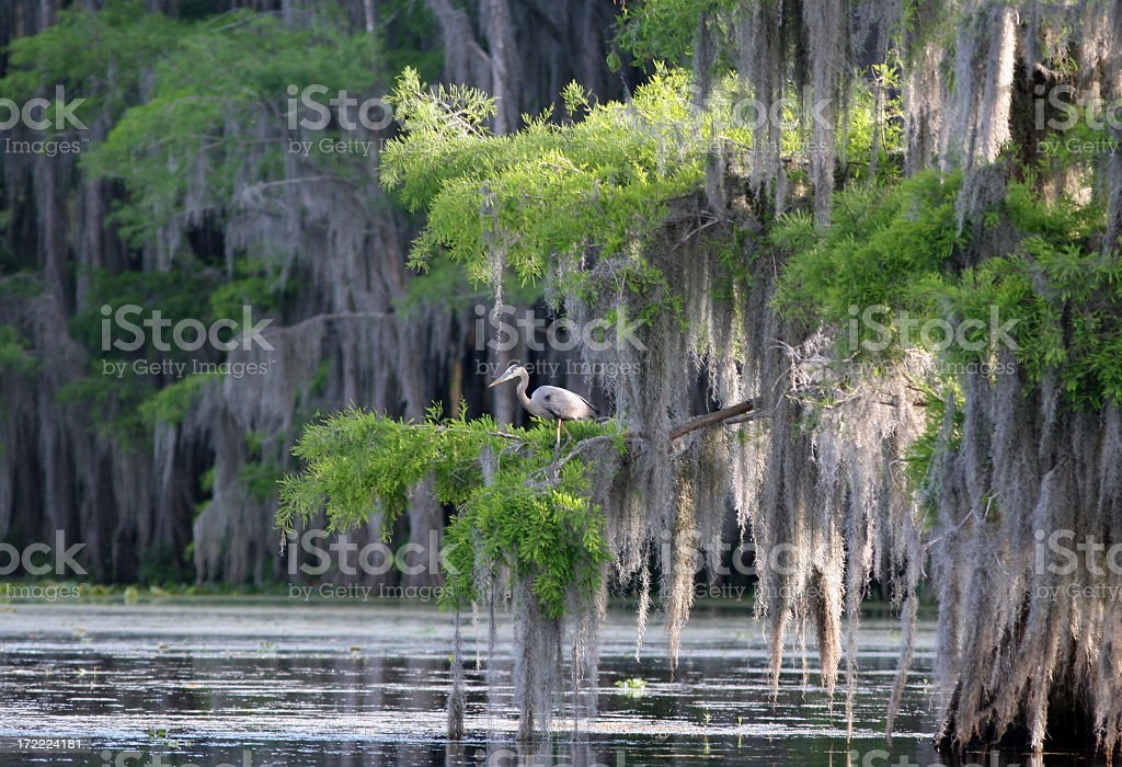 Cypress Swamp with Great Blue Heron stock photo