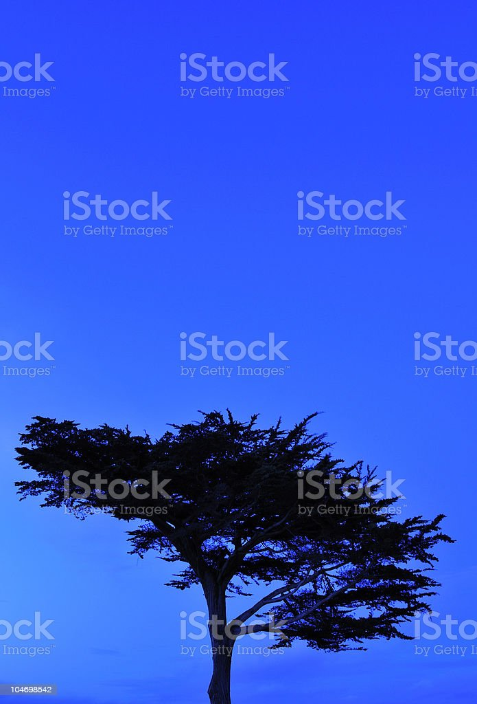 Cypress Tree Blues royalty-free stock photo