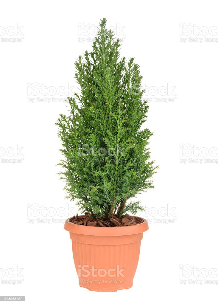 Cypress tree isolated on white. whithout shadow stock photo