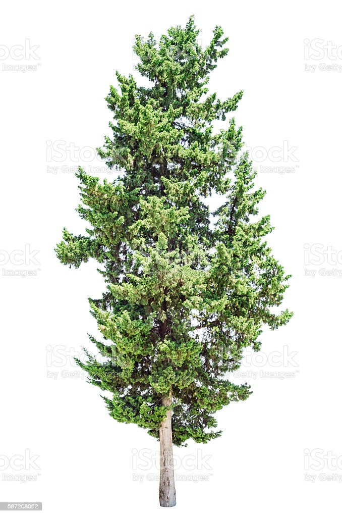Cypress tree isolated stock photo