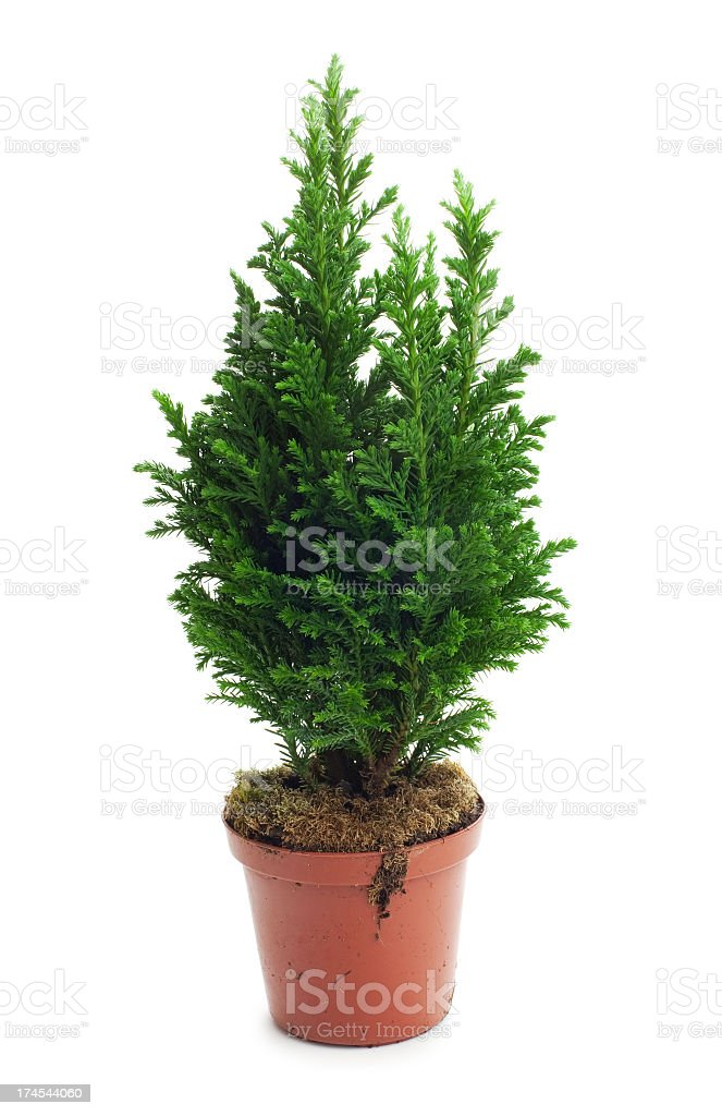 Cypress tree royalty-free stock photo