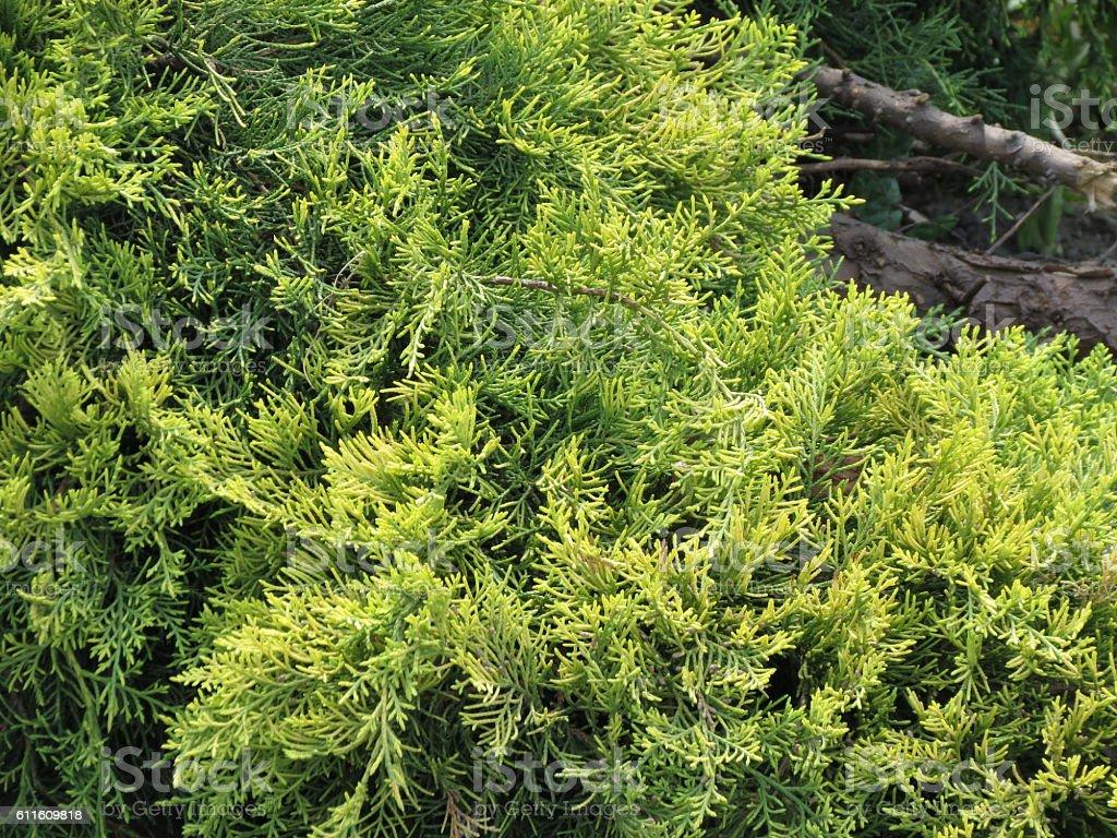 Cypress tree stock photo