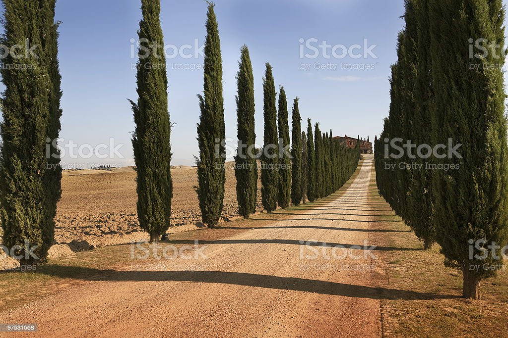 Cypress tree royalty-free stock photo