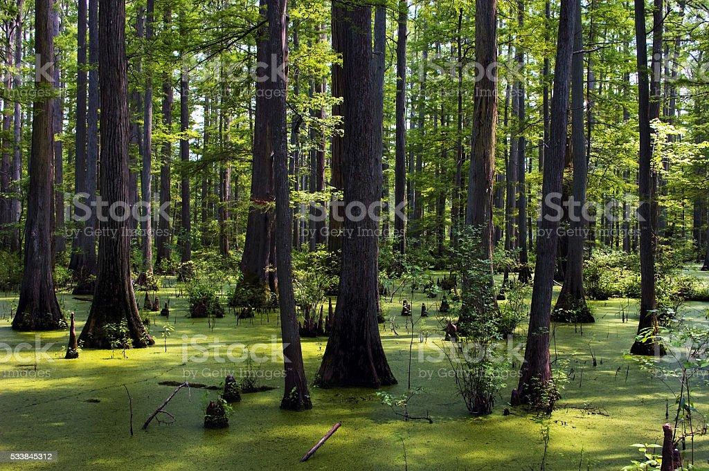Cypress Tree Swamp and Algae at Heron Pond stock photo