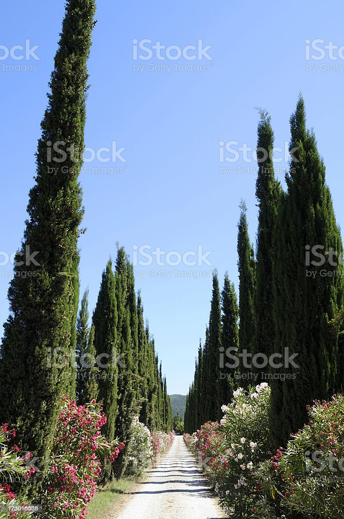 Cypress trees and pathway in tuscany royalty-free stock photo