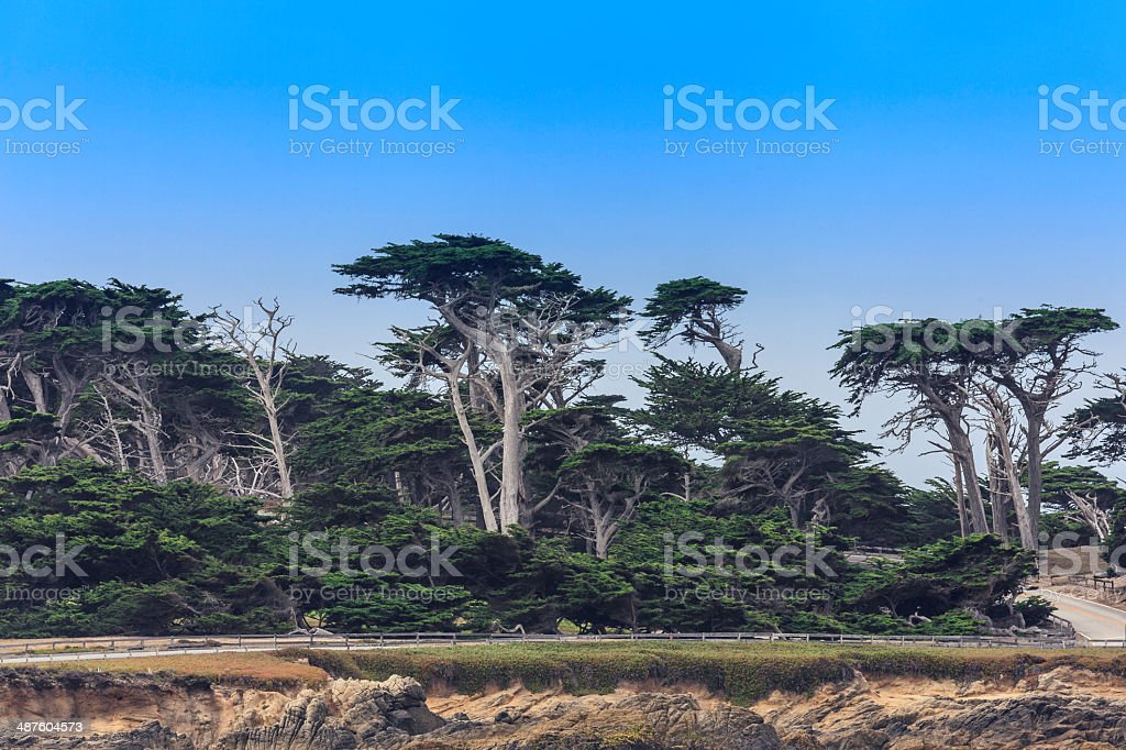 Cypress Trees at Pebble Beach stock photo