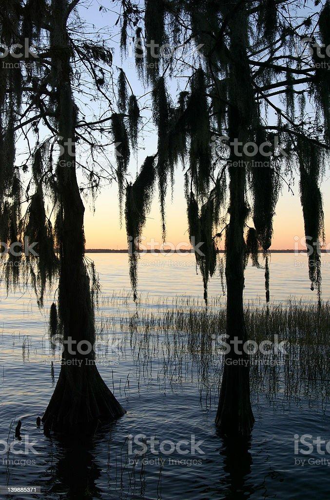 Cypress Trees at Sunset royalty-free stock photo